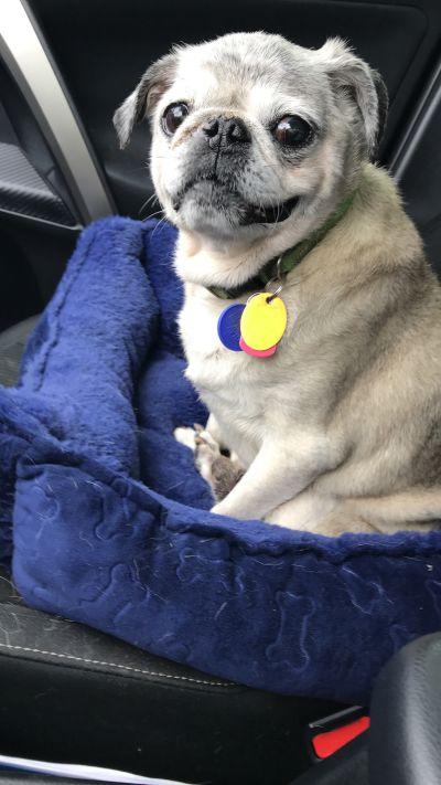 Mid Atlantic Pug Rescue Available Pugs