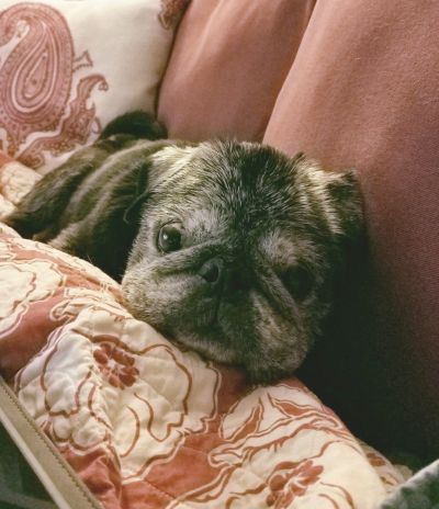 Mid-Atlantic Pug Rescue - Available pugs