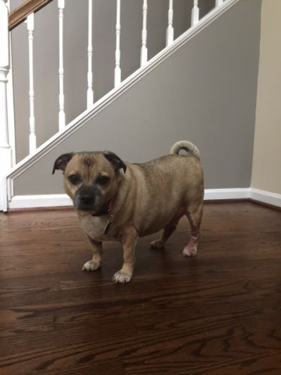 Mid Atlantic Pug Rescue Home